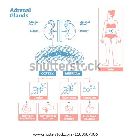 Adrenal Glands Endocrine System Medical Science Vector Stock Vector ...