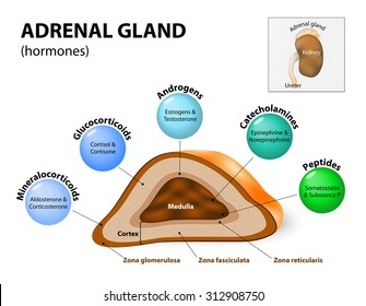 Adrenal glands sit atop the kidneys and are composed of an outer cortex and an inner medulla, which produce different types of hormones. Human endocrine system