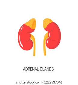 Adrenal glands. Vector diagram in flat style. Medical illustration of endocrine organs
