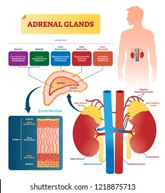 Adrenal glands vector illustration. Labeled scheme with all hormones types. Division in medulla, zona glomerulosa, fasciculata and reticulatis. Medical diagram with closeup right gland cross section.