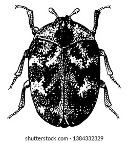 Adult Common Carpet Beetle is a small grayish or black beetle belonging to the order Coleoptera, vintage line drawing or engraving illustration.
