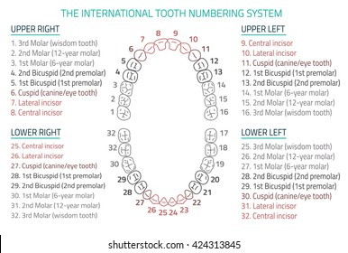 Adult international tooth numbering chart. Vector illustration. Editable image in modern style on white background. Human teeth infographic. Health dental care design. Poster or leaflet template