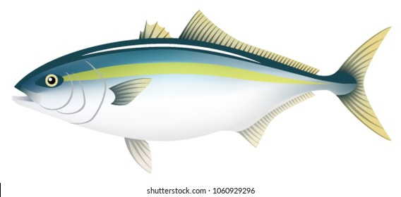 The adult yellowtail, isolated on the white background.