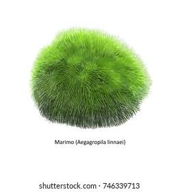Aegagropila linnaei, known as Marimo, Ball seaweed, Cladophora ball, Lake ball, Mossimo or Moss Balls, species of filamentous green algae (Chlorophyta). Hand drawn vector illustration, isolated
