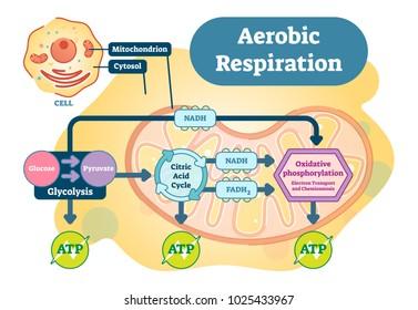 Aerobic Respiration bio anatomical vector illustration diagram, educational medical scheme.