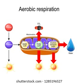 Aerobic respiration. Cellular respiration. Pyruvate enter the mitochondria in order to be oxidized by the Krebs cycle. products of this process are carbon dioxide, water, and energy. Vector diagram