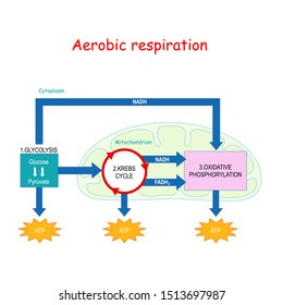 Aerobic respiration with mitochondrion in cell: Glycolysis, Oxidative decarboxylation of pyruvate, Citric acid cycle and Oxidative phosphorylation. Cellular respiration. Krebs cycle