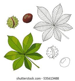 Aesculus. Buckeye. Horse chestnut. Chestnut. Medical plant - vector illustration