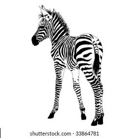 African animals 2 :vector baby zebra