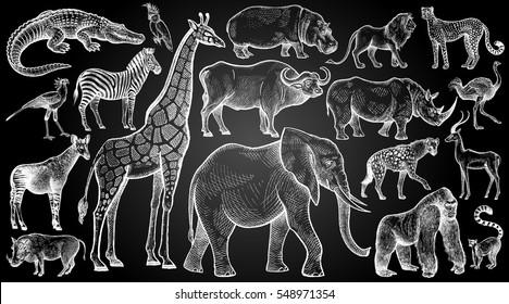 Animales africanos y aves. Dibujo manual de tiza blanca en la pizarra. Arte de ilustración vectorial. Estilo de grabado vintage. La naturaleza objetos mamíferos de vida silvestre. Depredadores y herbívoros.