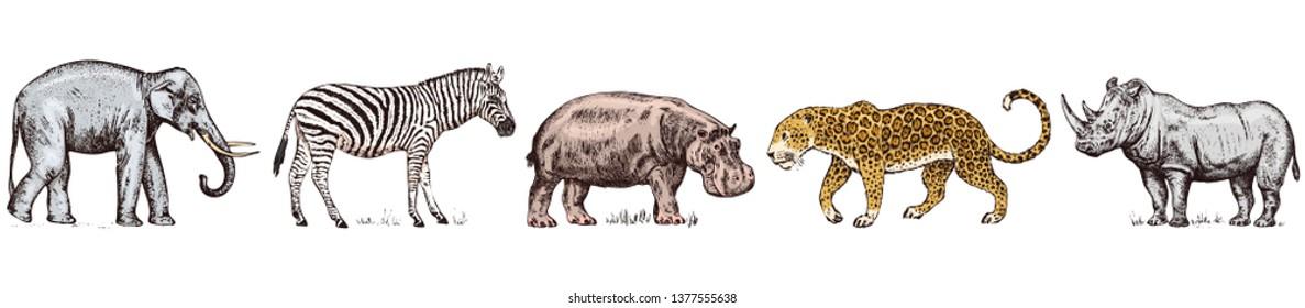African animals. Rhinoceros Elephant Hippopotamus Leopard Wild zebra. Engraved hand drawn Vintage old monochrome safari sketch. Vector illustration.