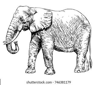 african elephant isolated on white.