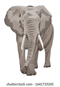 African Elephant walking. Big 5 member.
