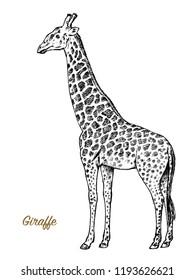 African giraffe Wild animal on white background. Engraved hand drawn line art Vintage old monochrome sketch, ink. Vector illustration for label. safari symbol.