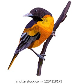 African golden oriole. Beautiful, bright, exotic bird sitting on a branch. It inhabits mainly in tropical and subtropical climates of the eastern hemisphere.