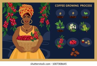 African woman with a basket harvests coffee berries. Plant seed germination stages. Process of planting and growing a coffee tree. Coffee tree cultivation in stages. Vector illustration