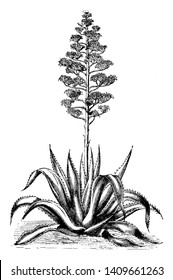 Agave Americana is a large succulent plant. It is grown as an ornamental plant, vintage line drawing or engraving illustration.