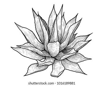 Agave illustration, drawing, engraving, ink, line art, vector