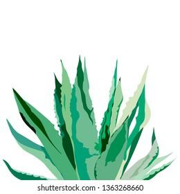 Agave plant. Vector illustration on white.