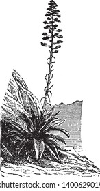 Agave plants are a type of Cactus Plant. It is very growing slowly, vintage line drawing or engraving illustration.