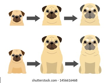 aging process of Pug dog