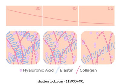 aging skin level vector / hyaluronic acid / elastin / collagen