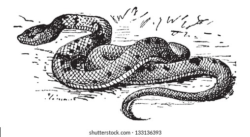 Agkistrodon sp., vintage engraved illustration. Dictionary of Words and Things - Larive and Fleury - 1895