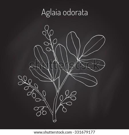Aglaia Odorata Medicinal Plant Vector Illustration เวกเตอร์ส