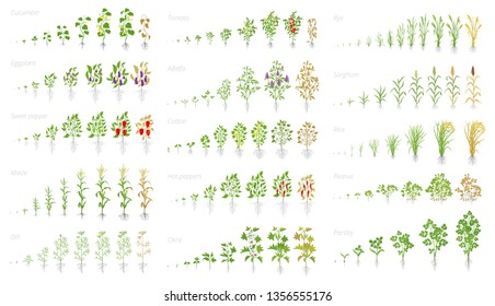 Agricultural plant, growth set animation. Cucumber tomato eggplant pepper corn grain and many other. Vector showing the progression growing plants. Growth stages planting.