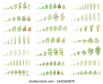 Agricultural plant, growth set animation. Bean, tomato eggplant pepper corn grain and many other. Progression growing plants. Vector flat.