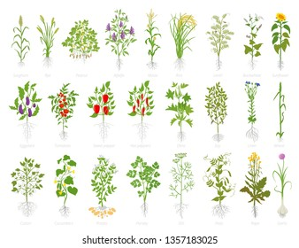 Agricultural plant icon set. Vector farm plants. Cereals wheat alfalfa corn rice soybeans lentils and many other. Popular vegetables set.