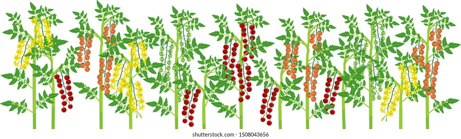 Agriculture plant border. General view of group of fruit-bearing different Cherry tomato plants with ripe tomatoes isolated on white background. Harvest time