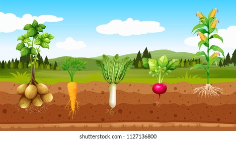 Agriculture Vegetables and Underground Root illustration