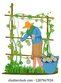 agriculturist harvest melon fruit vector design