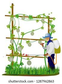 agriculturist sprays cantaloupe plant vector design