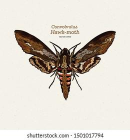 Agrius convolvuli, the convolvulus hawk-moth is a large hawk-moth. hand draw sketch vector.