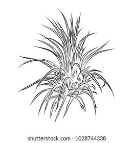 Air plant Tillandsias cactus for fashion design. Cacti mood sketchy hand drawn style illustration. Succulent terrarium element. Wild floral exotic tropical flower. Vector.