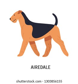 Airedale, Bingley or Waterside Terrier. Beautiful dog of hunting breed with wiry coat, side view. Adorable purebred pet animal isolated on white background. Vector illustration in flat cartoon style.