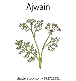 Ajwain (trachyspermum ammi), or ajowan caraway, bishop weed, carom - spice herb. Hand drawn botanical vector illustration