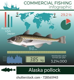 Alaska pollock fish infographic, commercial fishing, vector illustration.