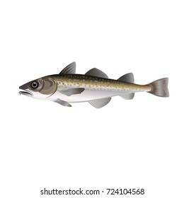 Alaska pollock. Vector illustration on the white background