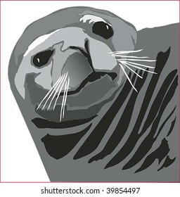 Alaskan seal face closeup