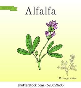 Alfalfa (Medicago sativa). Hand drawn botanical vector illustration