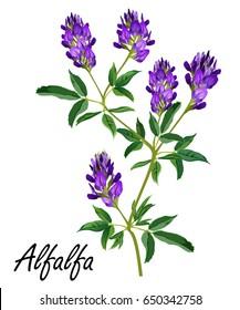 Alfalfa (Medicago sativa, lucerne). Hand drawn vector illustration of alfalfa plant with flowers isolated on white background.