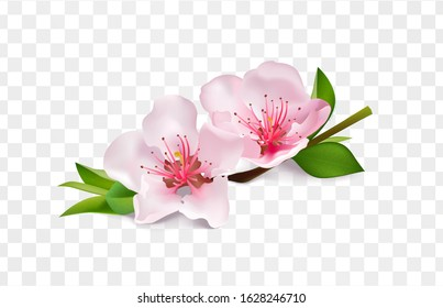 Almond branch blossom isolated illustration. Macro flowers of nut, apple, jasmine, cherry, japanese sakura with twig and leaves. Closeup realistic image for food packaging design and sweets.