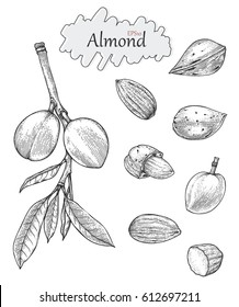 Almond collection hand drawing vintage style.Engraving drawing style