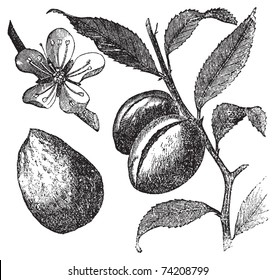 The Almond tree or prunus dulcis vintage engraving. Fruit, flower, leaf and almond. Old engraved illustration of an Almond tree, in vector, isolated on white. Fruit, flower, leaf and almond closeup.