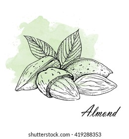 Almond - Vector Illustration.