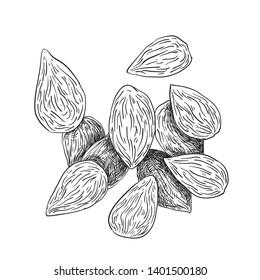 Almonds black and white engraving illustration