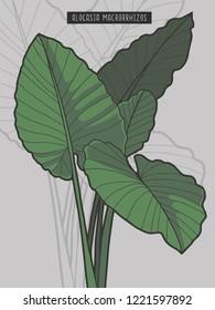 Alocasia Macrorrhizos Giant Taro rainforest tropical plant vector illustration